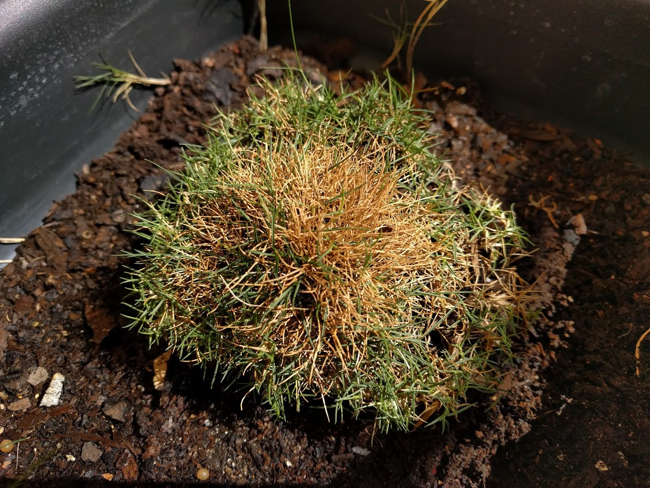 Can you keep Zoysia tenuifolia indoors?
