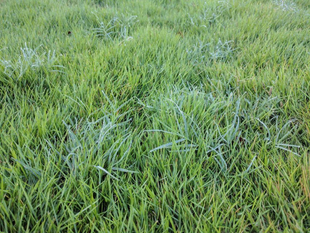 Zoysia matrella in the morning dew