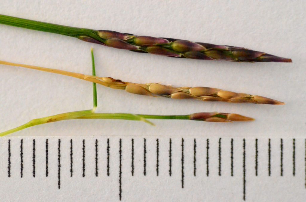 zoysia seeds
