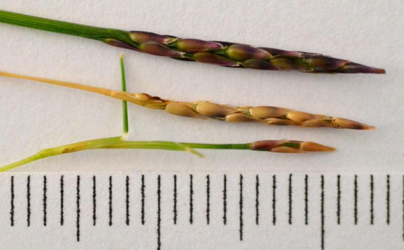 Seed Comparison: Zoysia Tenuifolia vs Zoysia Matrella