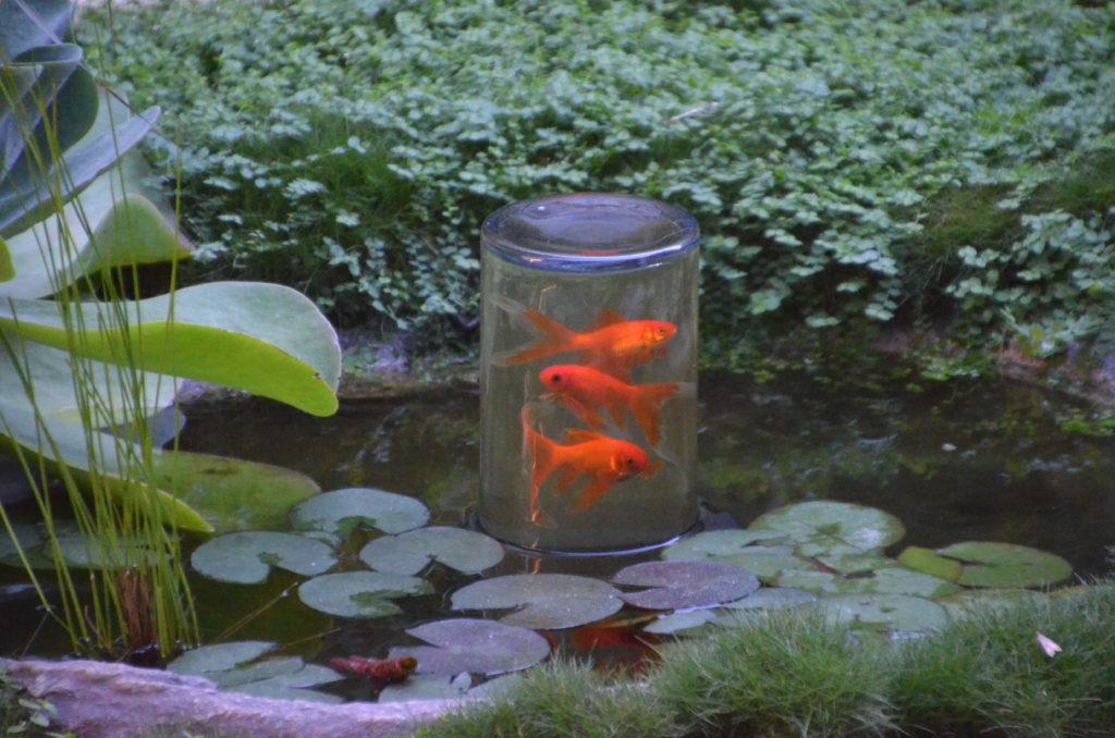 Gold Fish in an Inverted Aquarium Pond