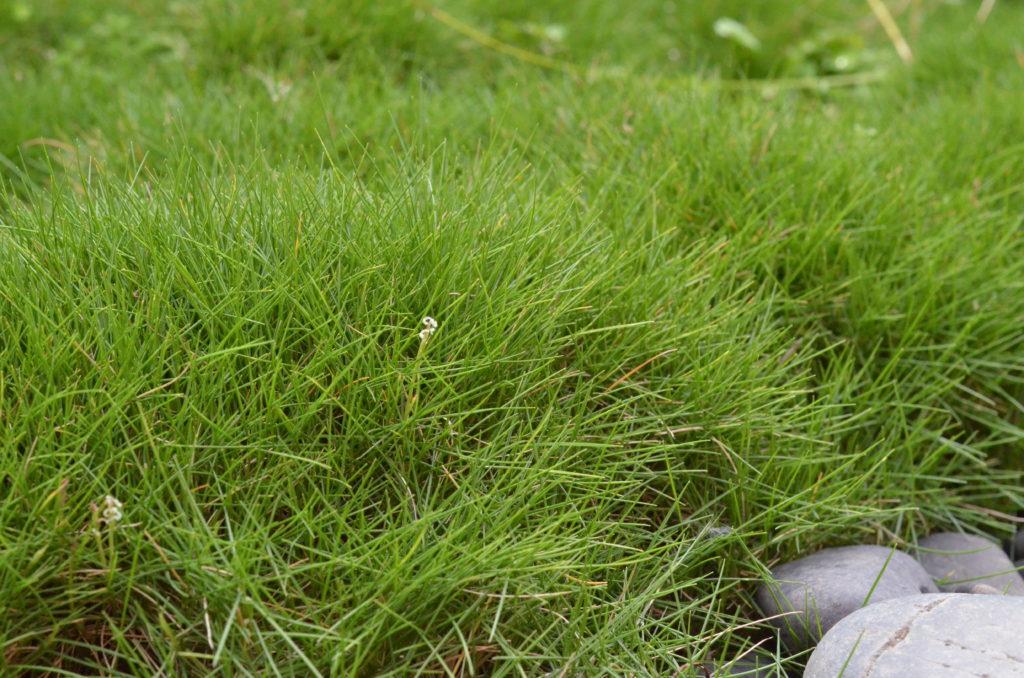 zoysia tenuifolia spikelet