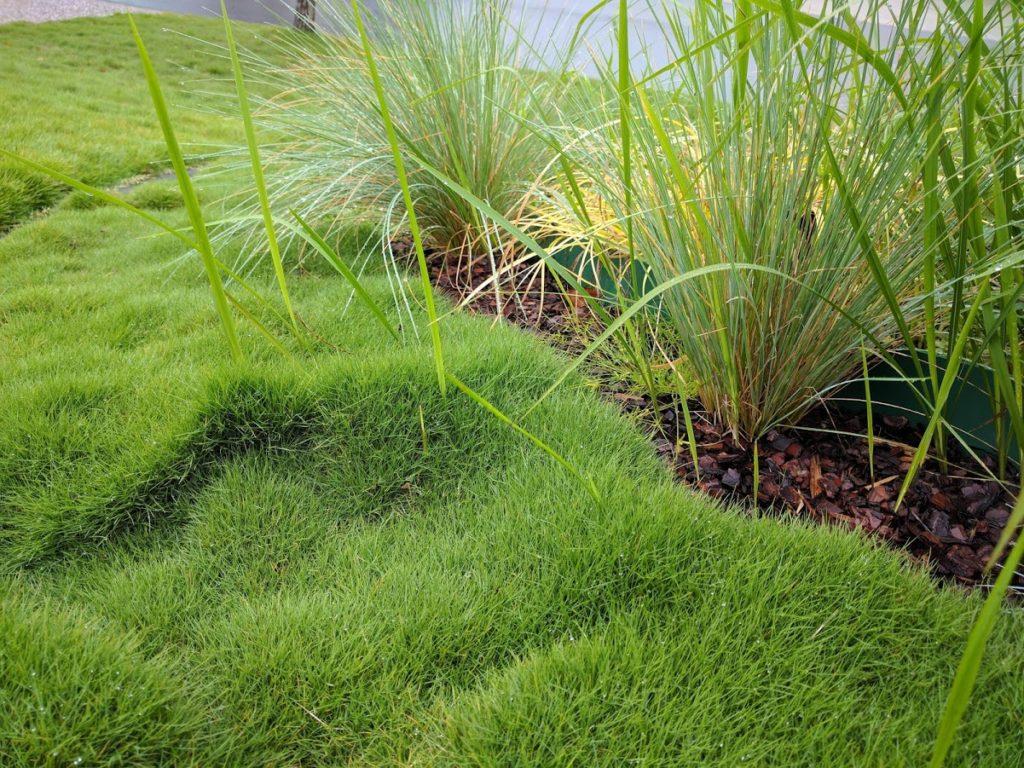 Invasive Cogon Grass