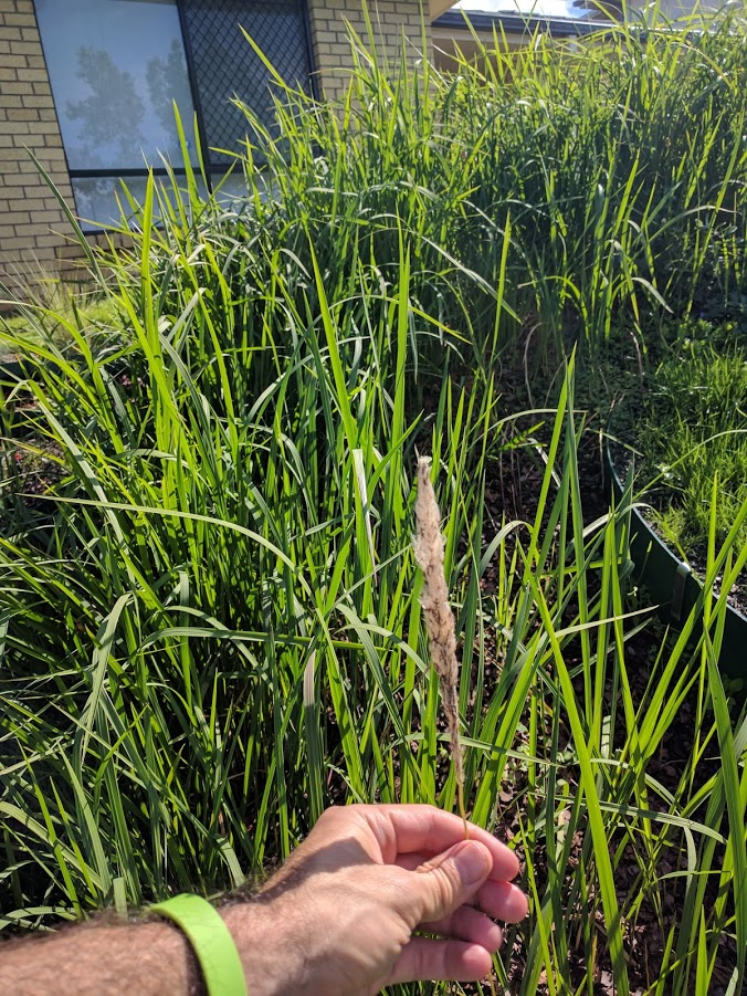 Japanese Blood Grass Flowering and Seed