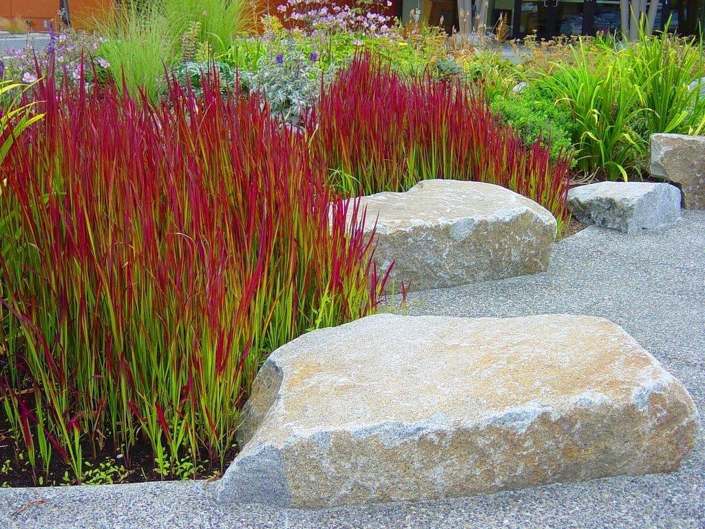 cogon, japanese blood grass, imperata cylindrica rubra