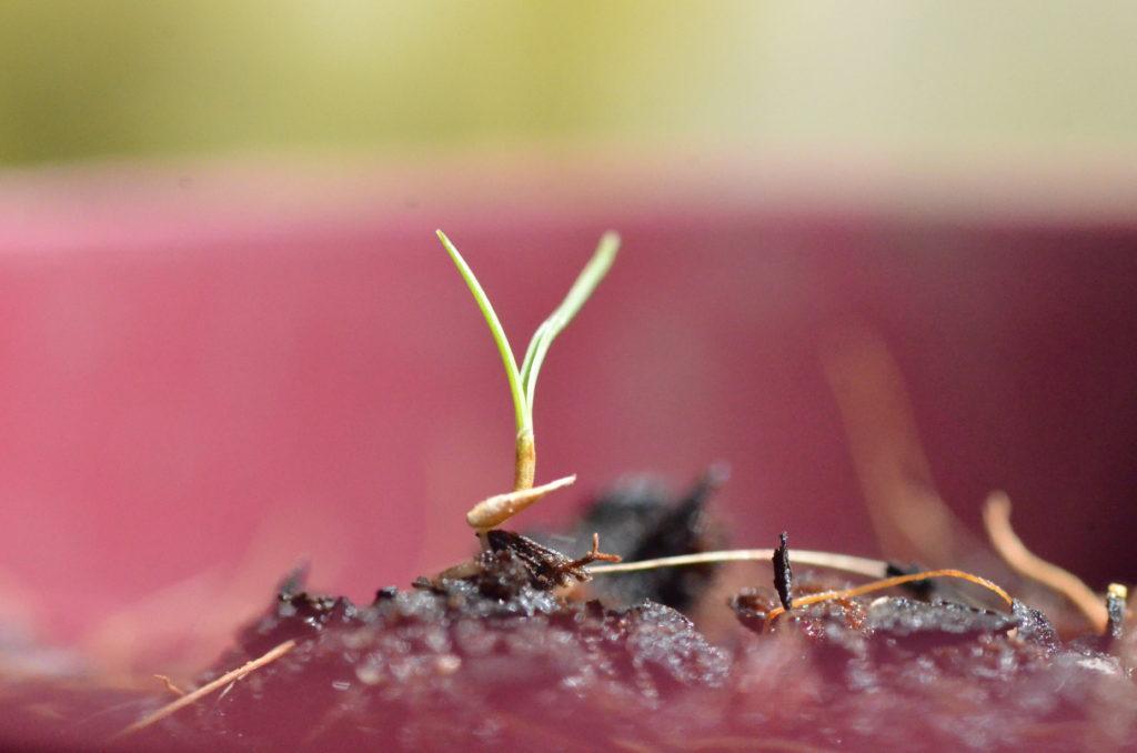 Zoysia tenuifolia seed sprout