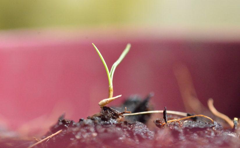 Germinating Zoysia Tenuifolia